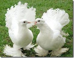 کبوتر اصلی پرویز 1391 (34)