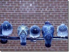 پرندگان اصلی پرویز 1391555 (26)