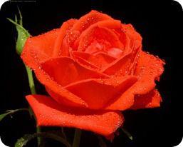 پرویز گلهای اصلی  (1060)