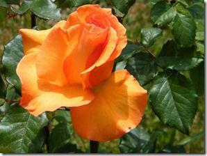 گلهای زیبای اصلی پرویز (185)