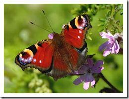 پروانه های زیبا (30)