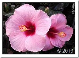 گل (1)