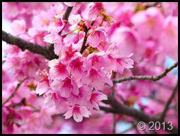 شکوفه های بهاری  (4)