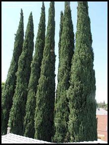 درخت-سرو-ناز-1