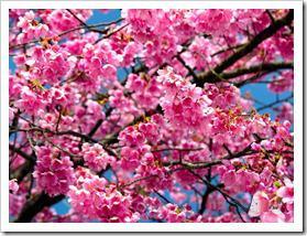 شکوفه های بهاری  (2)