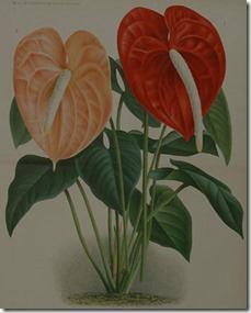 گل انتریوم