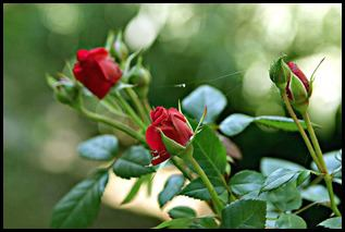 'گلهای اصلی پرویز 1391 (50)