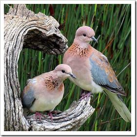 کبوتر (4)