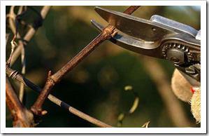 pruning-a-vinc-urmiabreeder