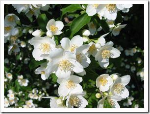 گلهای یاس اصلی پرویز (5)