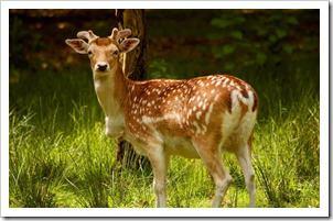 Fallow_deer_-04