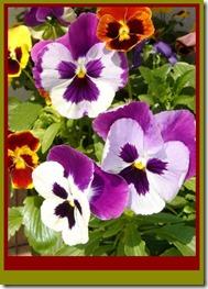 گلهای زیبای اصلی پرویز (293)