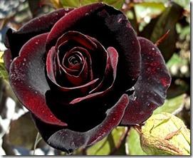گل رز سیاه پرویز 1391 (30)
