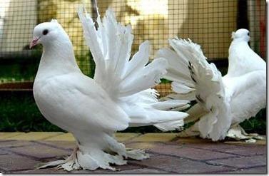 کبوتر (33)
