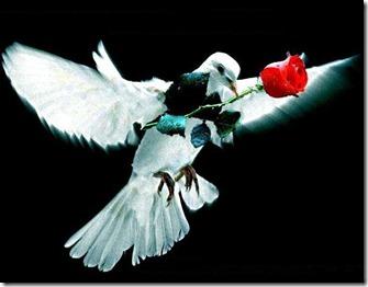 کبوتر (10)