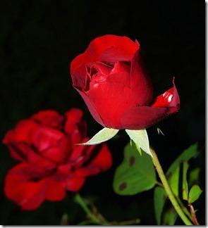 rose-419079_1280