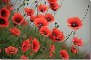 گلهای شقایق پرویز (2)